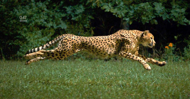 Cheetah Running At 60 Mph in Super Slow Motion HD